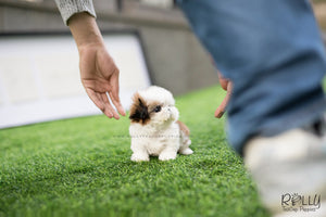 (SOLD to Evick) Button - Shih Tzu. F - Rolly Teacup Puppies - Rolly Pups
