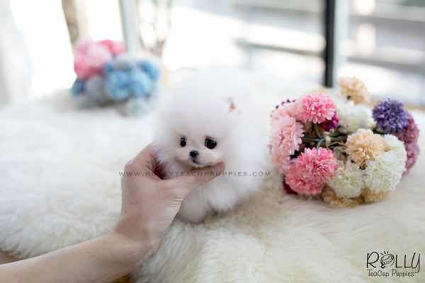 (SOLD to Malyn) Buzz - Pomeranian. M - Rolly Teacup Puppies