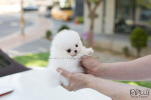 (SOLD to Malyn) Buzz - Pomeranian. M - Rolly Teacup Puppies - Rolly Pups