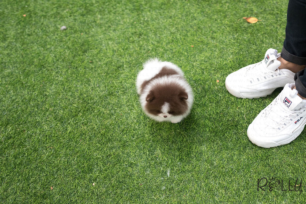 (Purchased by Carneiro) Cannoli - Pomeranian. F - Rolly Teacup Puppies
