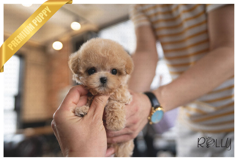 BRÛLÉE - Maltipoo. F - ROLLY PUPS INC