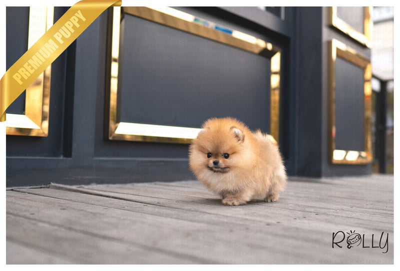 (RESERVED by Stodden) CARAMEL - Pomeranian. F - ROLLY PUPS INC