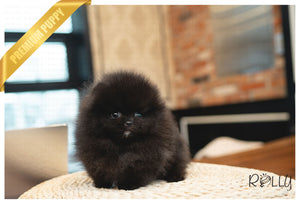 (PURCHASED by Cojab) CAVIAR - Pomeranian. F - ROLLY PUPS INC