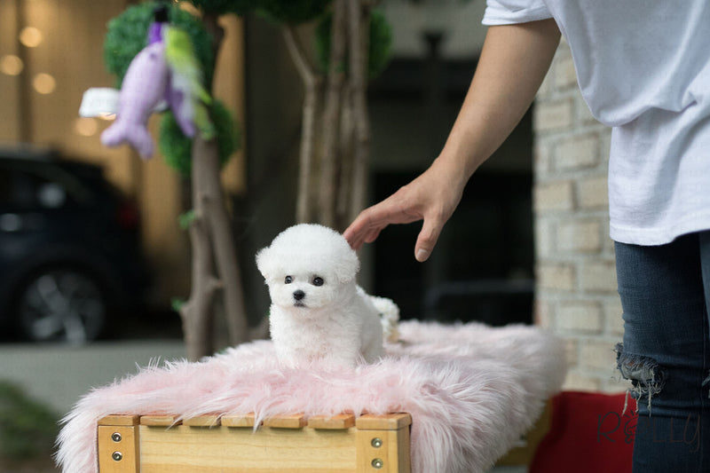 (Purchased by Lopez) Cotton Candy - Bichon. M - Rolly Teacup Puppies