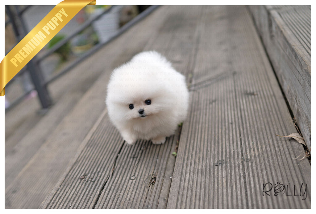 CHASE - Pomeranian. M - ROLLY PUPS INC