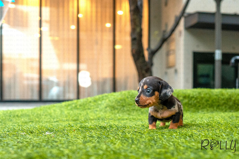 (Purchased by Geary) CHOCOLATE - Dachshund. M - Rolly Teacup Puppies