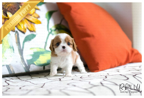 (SOLD to Young) Churros - King Charles. M - Rolly Teacup Puppies