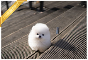 (PURCHASED by Mora) CLOUD - Pomeranian. M - ROLLY PUPS INC