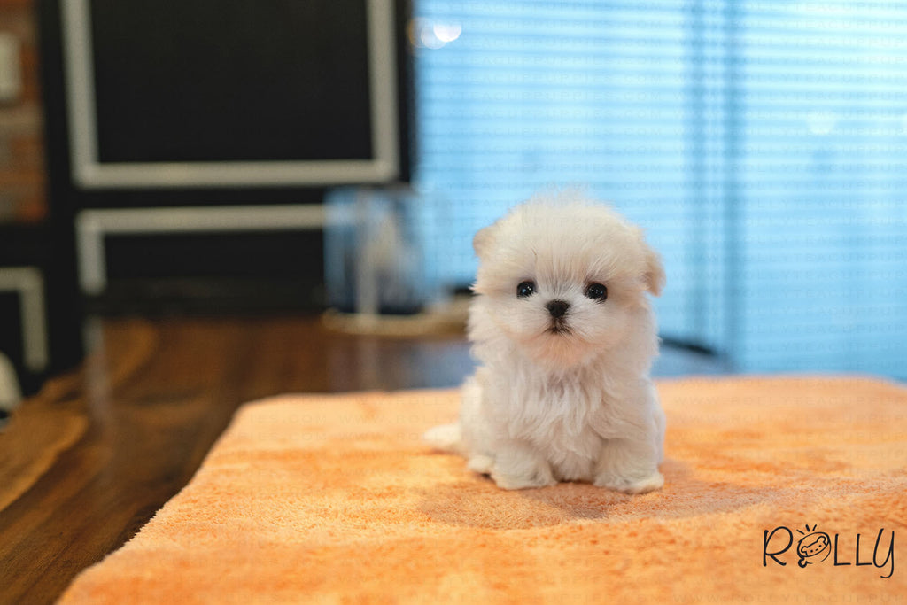 (RESERVED by Snyder) COBY - Maltese. M - ROLLY PUPS INC