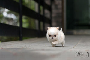 (Purchased by Isher)Cream Puff - Chihuahua. F - Rolly Teacup Puppies