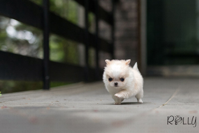(Purchased by Isher)Cream Puff - Chihuahua. F - Rolly Teacup Puppies - Rolly Pups