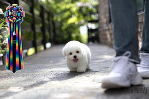 (Purchased by Cammllarie) Caesar - Coton De Tulear. M - Rolly Teacup Puppies