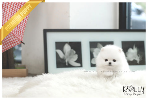 (SOLD to Mesa) Candy - Pomeranian. F