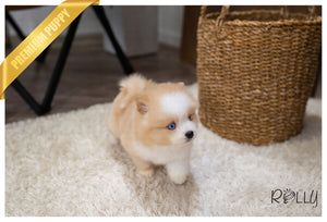 (RESERVED by Dhillon) CAPPUCINO - Pomsky. M - ROLLY PUPS INC