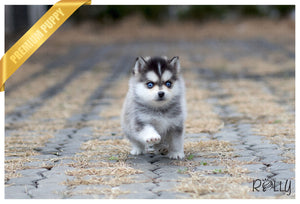 (Purchased by Makhani) Capri - Pomsky. M - Rolly Teacup Puppies - Rolly Pups