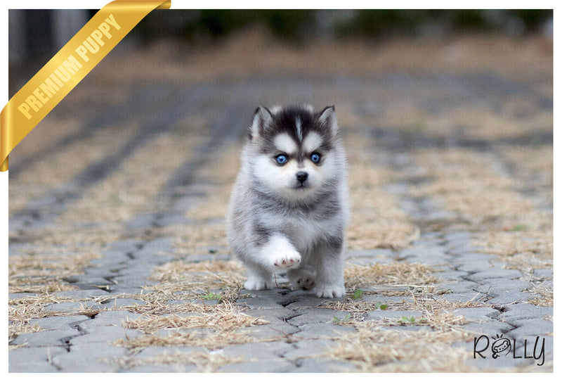(Purchased by Makhani) Capri - Pomsky. M - Rolly Teacup Puppies