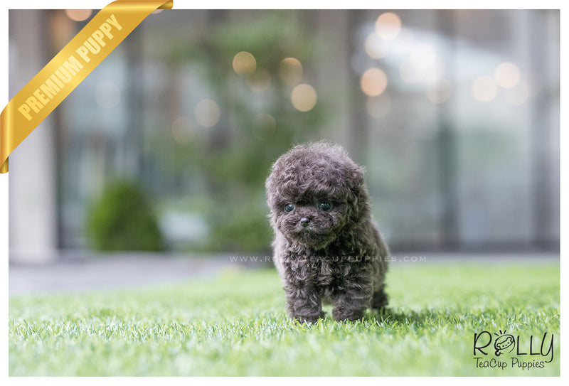 (SOLD to Montalbo) Capri - Poodle. M - Rolly Teacup Puppies - Rolly Pups