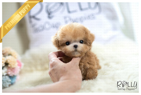 (Reserved by Yacoub) Caramel - Poodle. M