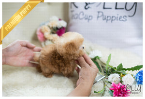 (Purchased by Yacoub) Caramel - Poodle. M - Rolly Teacup Puppies - Rolly Pups