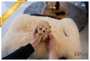 (Purchased by SMEKE) Caramel - Poodle. M - Rolly Teacup Puppies - Rolly Pups