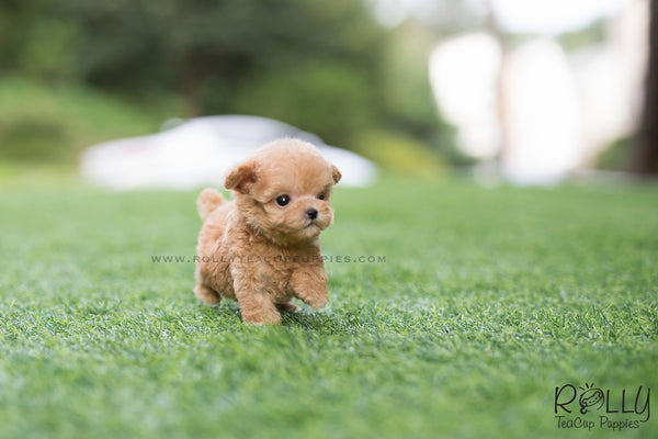 (SOLD to Mahmedein) Caramel - Poodle. M - Rolly Teacup Puppies