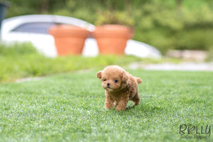 (SOLD to Mahmedein) Caramel - Poodle. M - Rolly Teacup Puppies - Rolly Pups