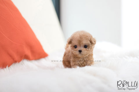 (SOLD to Mahmedein) Caramel - Poodle. M
