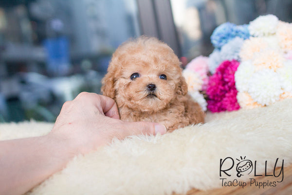 Caramel - Poodle - Rolly Teacup Puppies