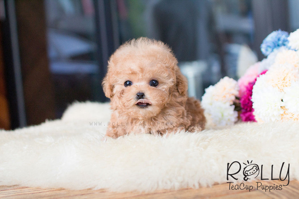 Caramel - Poodle - Rolly Teacup Puppies - Rolly Pups