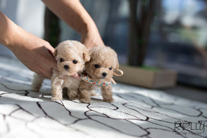 (SOLD to Le) Carl - Poodle. M - Rolly Teacup Puppies