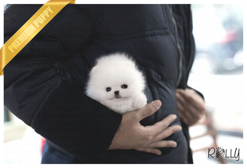 (Purchased by RT) Cash - Pomeranian. M - Rolly Teacup Puppies