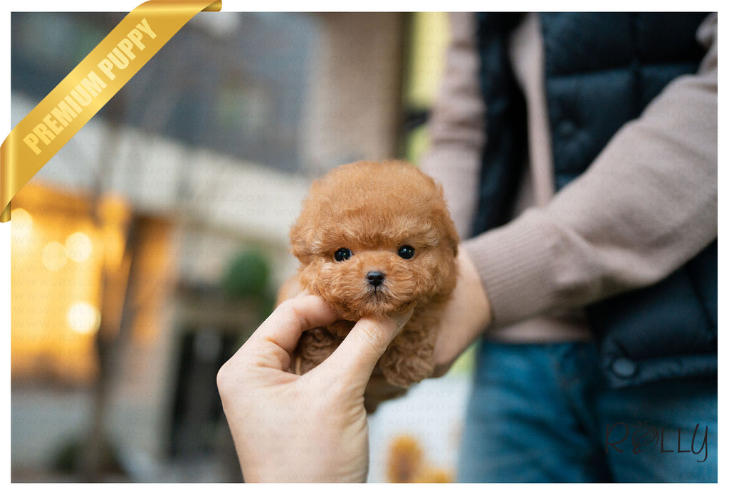 (Purchased by Booker) Cashew - Poodle. F - Rolly Teacup Puppies