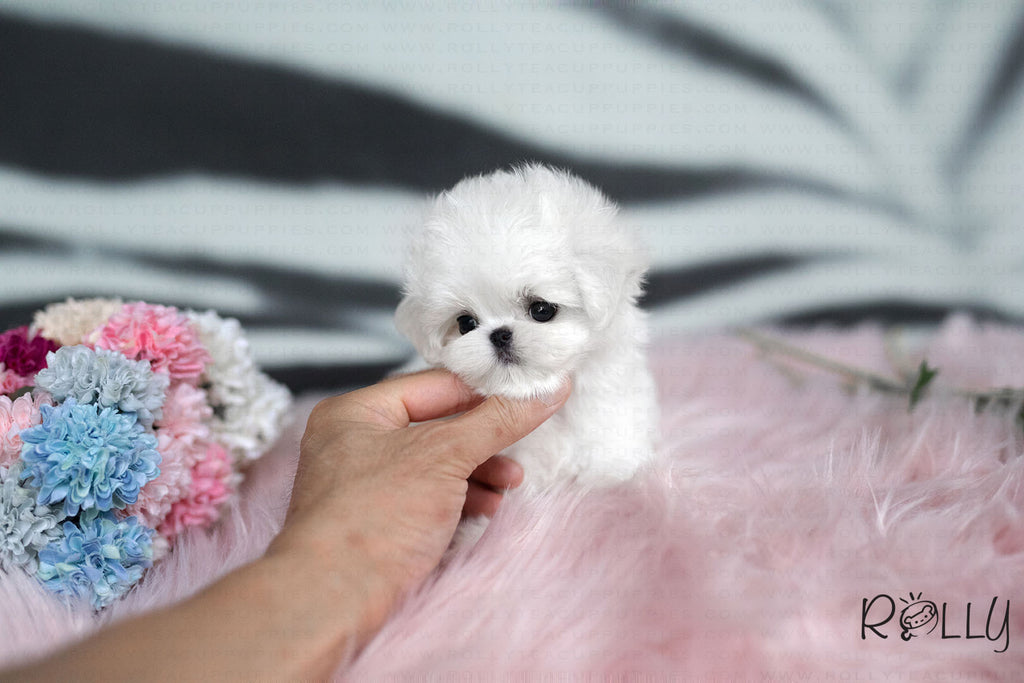 (Purechased by Lee) Casper - Maltese. M - Rolly Teacup Puppies