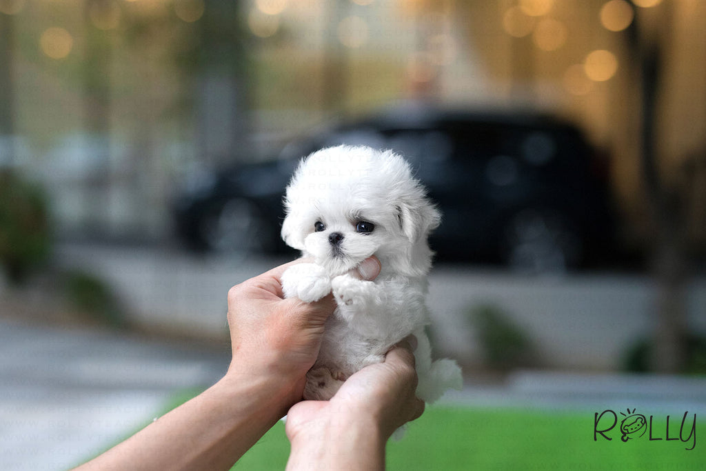 (Purechased by Lee) Casper - Maltese. M - Rolly Teacup Puppies - Rolly Pups