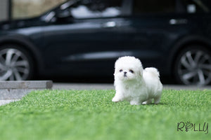 (Purechased by Lee) Casper - Maltese. M - ROLLY PUPS INC