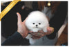 (Purchased by Netto)Casper - Pomeranian. M - Rolly Teacup Puppies