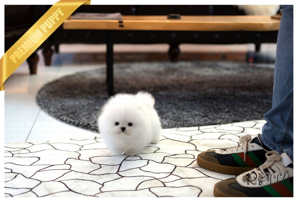 (Purchased by Netto)Casper - Pomeranian. M - ROLLY PUPS INC