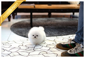(Purchased by Netto)Casper - Pomeranian. M - Rolly Teacup Puppies - Rolly Pups