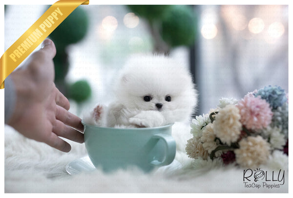 (Purchased by Henderson) Casper - Pomeranian. M - Rolly Teacup Puppies