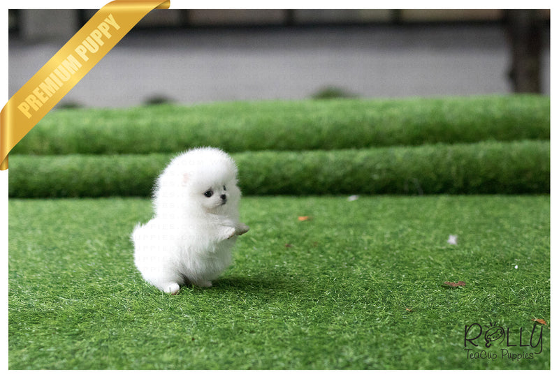 (Purchased by Henderson) Casper - Pomeranian. M - Rolly Teacup Puppies - Rolly Pups