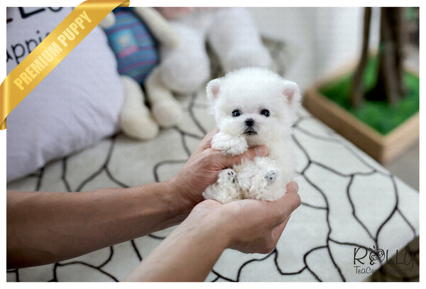 (Purchased by Mantovani) Casper - Poodle. M - Rolly Teacup Puppies