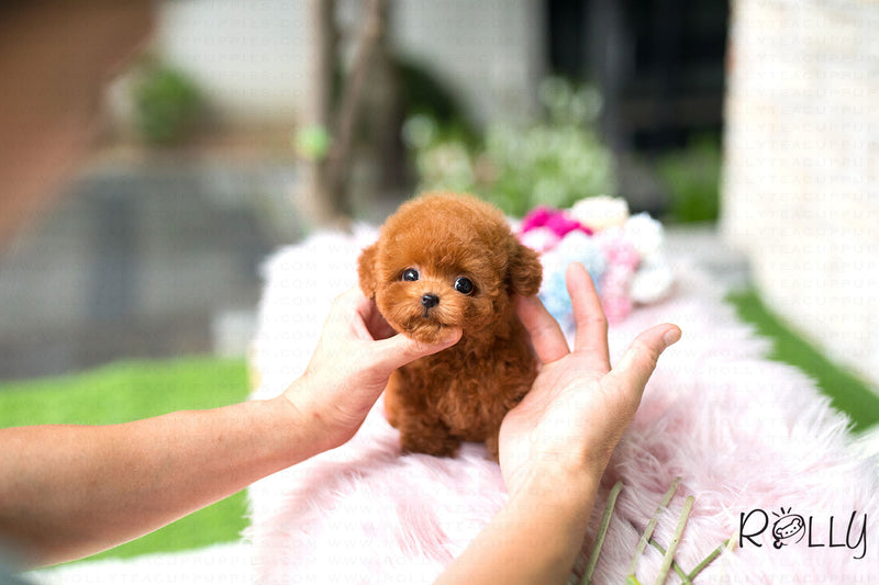 (Purchased by Darova) Cassie - Poodle. F - Rolly Teacup Puppies