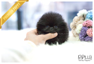 (SOLD to Hernandez) Caviar - Pomeranian. F - Rolly Teacup Puppies - Rolly Pups