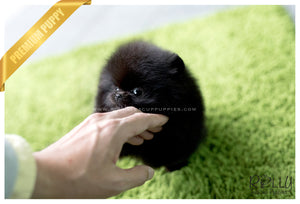 (SOLD to Hernandez) Caviar - Pomeranian. F - Rolly Teacup Puppies