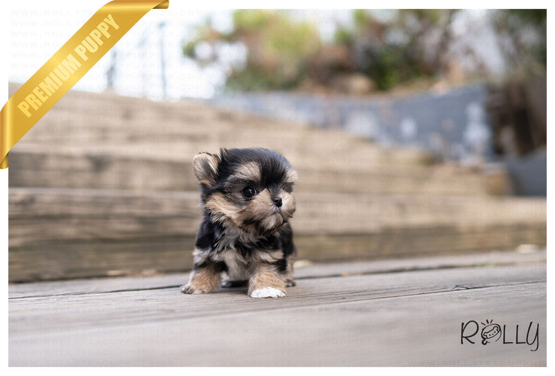(RESERVED by Shen) CELINE - Morkie. F - ROLLY PUPS INC