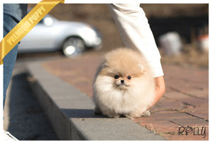 (Purchased by P) Celine - Pomeranian. F - Rolly Teacup Puppies - Rolly Pups
