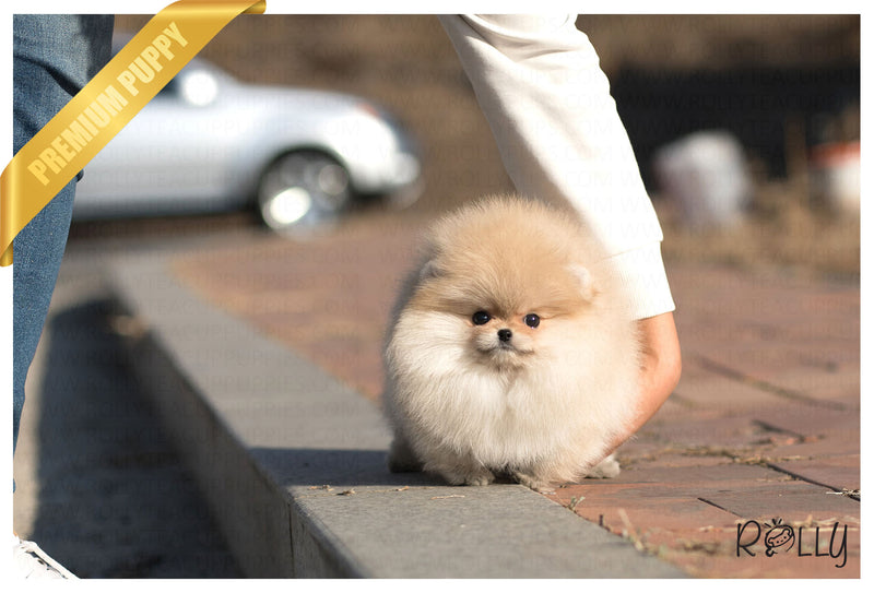(Purchased by P) Celine - Pomeranian. F - Rolly Teacup Puppies