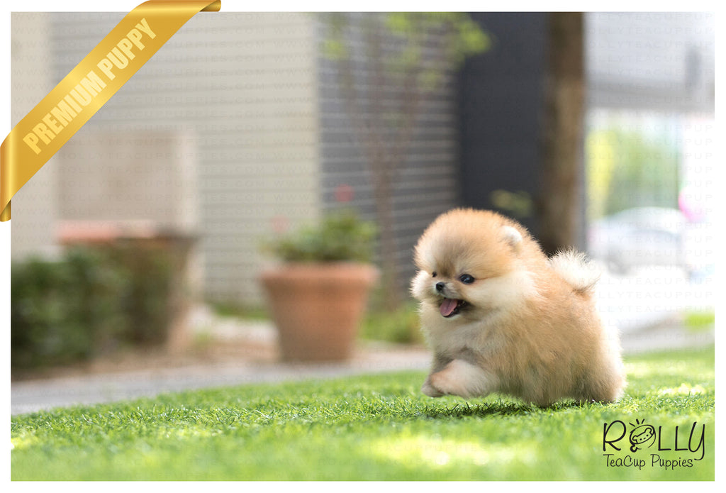 (SOLD to Muradova) Celine - Pomeranian. F - Rolly Teacup Puppies