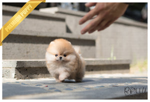 (SOLD to Muradova) Celine - Pomeranian. F - Rolly Teacup Puppies - Rolly Pups