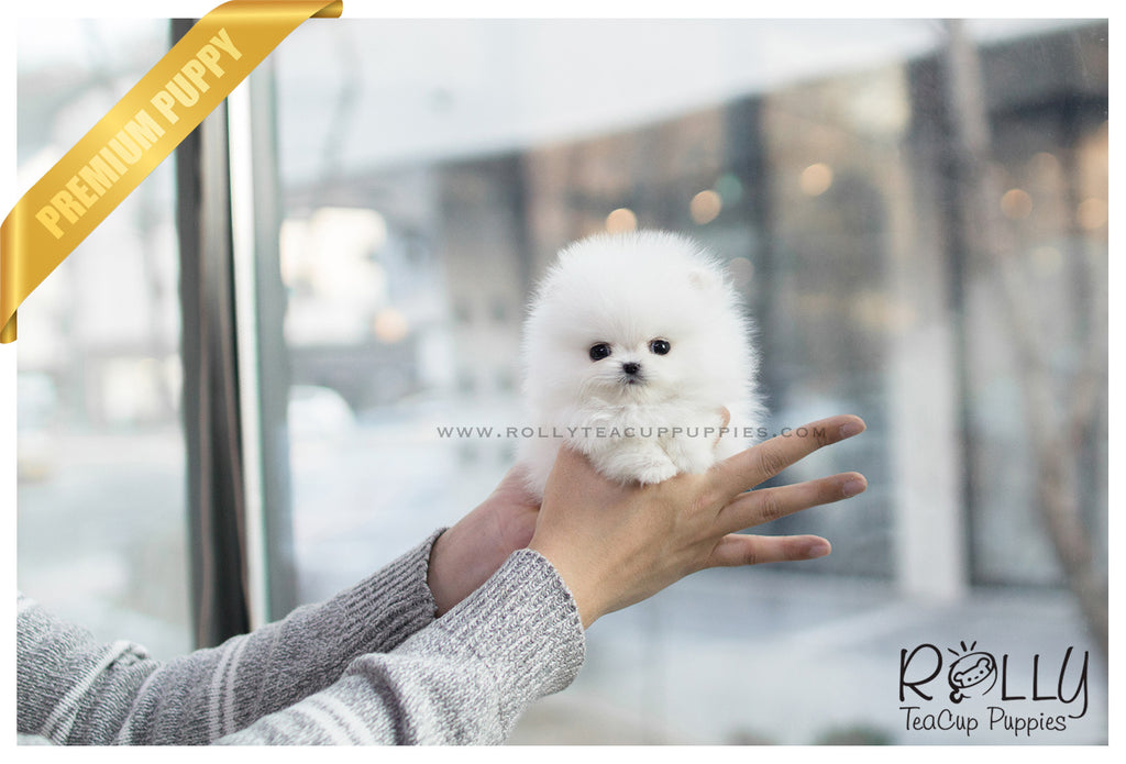 (SOLD to Lau) Celine - Pomeranian. F - ROLLY PUPS INC